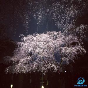 しだれ桜のライトアップ(六義園)