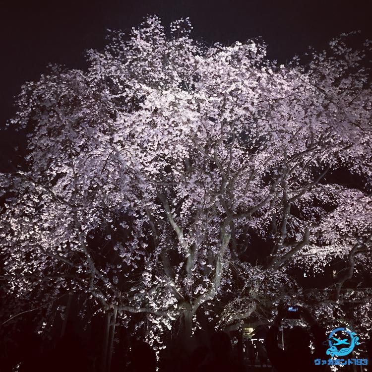 しだれ桜のライトアップ(六義園)2