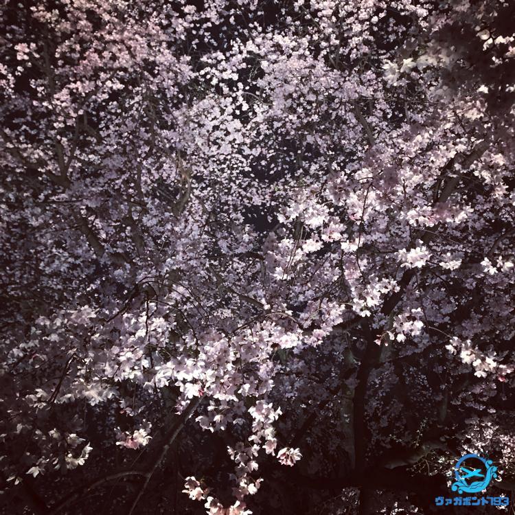 しだれ桜のライトアップ(六義園)3